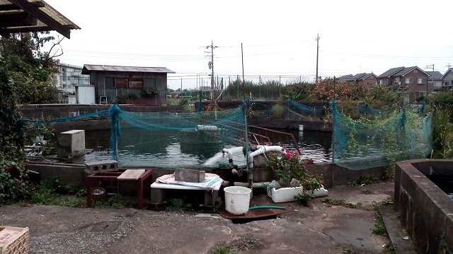 川越簡単釣り堀にじますニジマス鯉