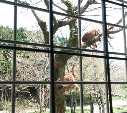 富士サファリパークライオン餌やり体験