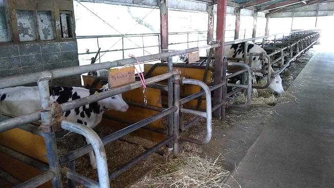 榎本牧場の牛
