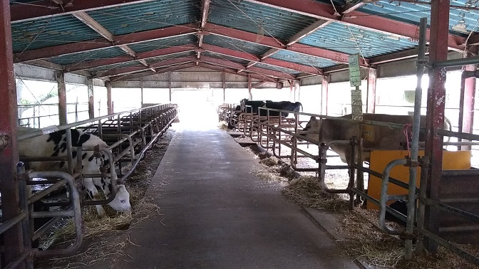 榎本牧場牛舎の中