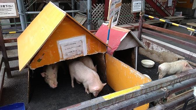 榎本牧場の子豚