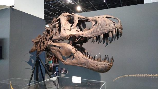 ティラノサウルスの頭の化石