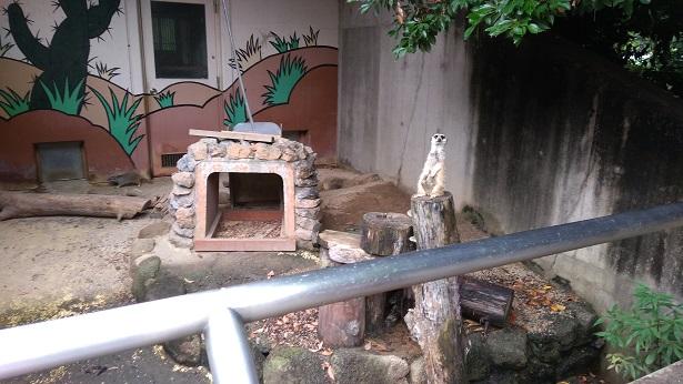 智光山公園こども動物園ミーアキャット